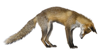Side view of Red Fox, 1 year old Royalty Free Stock Photo