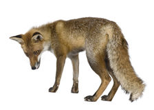 Side view of Red Fox, 1 year old Royalty Free Stock Photos