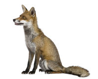 Side view of Red Fox, 1 year old, sitting stock images
