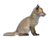 Side view of a Red fox cub (6 Weeks old)- Vulpes v. Ulpes in front of a white background Stock Image