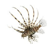 Side view of a red lionfish isolated on white Royalty Free Stock Image