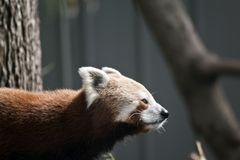 Red pandas close up. This is a side view of a red pandas Stock Photo