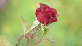 Side view red rose in slow motion on wind stock footage