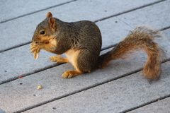 Side view red squirrel eating peanut Stock Photos