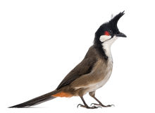 Side view of a Red-whiskered Bulbul - Pycnonotus jocosus Stock Image