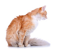 Side view of a red and white cat Stock Images