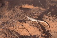Side view of reptile in the desert looking back royalty free stock images