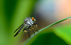Side view of robber fly ( asilidae) hanging on green leaf Royalty Free Stock Photos