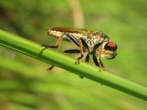 Side view of a Robber fly. Macro photo of side view of a Robber fly with soft background Royalty Free Stock Photo