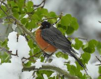 Side view of robin on a snowy branch royalty free stock photos