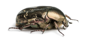 Side view of a Rose chafer, Cetonia aurata, isolated Royalty Free Stock Image