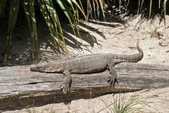 Rosenberg`s monitor lizard. This is a side view of a rosenberg`s monitor lizard stock photo
