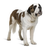 Side view of Saint Bernard, standing. Saint Bernard, 4 years old, standing in front of white background Royalty Free Stock Photography