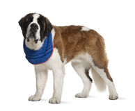Side view of Saint Bernard standing Stock Photos