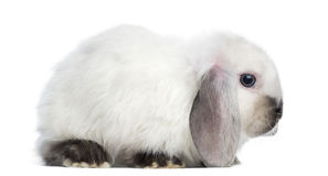 Side view of a Satin Mini Lop rabbit, isolated Royalty Free Stock Image