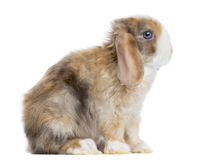 Side view of a Satin Mini Lop rabbit sitting, isolated Stock Photography