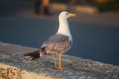 Side view of seagull Stock Image