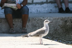 Side view of seagull standing on floor Royalty Free Stock Photos