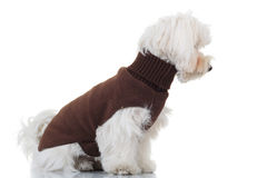 Side view of a seated bichon puppy wearing brown clothes. On white background Stock Image
