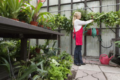 Side view of a senior florist spraying pesticide in greenhouse stock photo