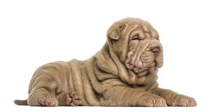 Side view of a Shar Pei puppy lying down, dozing, Stock Photos