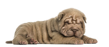 Side view of a Shar Pei puppy lying down, dozing, Royalty Free Stock Image