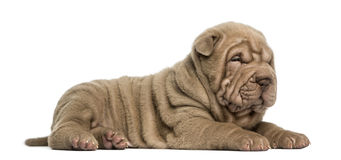 Side view of a Shar Pei puppy lying down, dozing, Royalty Free Stock Photos