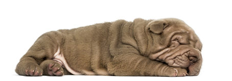 Side view of a Shar Pei puppy lying down, sleeping Stock Photos