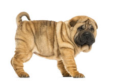 Side view of Shar pei puppy (11 weeks old) Royalty Free Stock Photo
