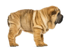 Side view of Shar pei puppy (11 weeks old) Royalty Free Stock Image