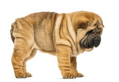 Side view of Shar pei puppy (11 weeks old) Stock Photos