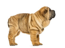 Side view of Shar pei puppy (11 weeks old) Stock Photography