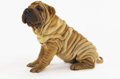 Side View Of Sharpei Sitting On White Background Stock Image