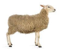 Side view of a Sheep Stock Image