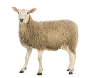 Side view of a Sheep looking at camera Stock Photography