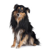 Side view of Sheltie dog, sitting Stock Photo