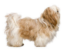 Side view of Shih Tzu, 1 year old, standing Royalty Free Stock Photography