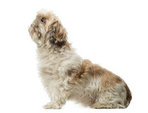 Side view of a Shih Tzu sitting, looking up, 10 years old Royalty Free Stock Photo