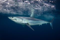 A side view of a short finned Mako shark stock image
