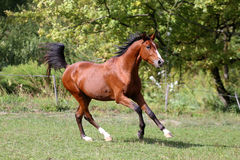 Side view shot of a galloping young arabian  stallion on pasture. Arabian breed horse galloping across a green summer pasture Stock Photo