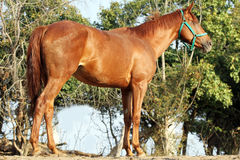 Side view shot of a young chestnut horse. Purebred anglo arabian stallion standing in summer corral against green natural background royalty free stock photos