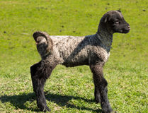 Side view of Shropshire lamb in meadow. View of young lamb from Shropshire sheep breed in welsh meadow Royalty Free Stock Images