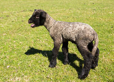 Side view of Shropshire lamb in meadow. View of young lamb from Shropshire sheep breed in welsh meadow Stock Image