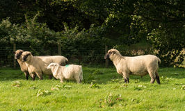 Side view of Shropshire sheep in meadow Royalty Free Stock Photos