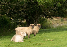 Side view of Shropshire sheep in meadow Royalty Free Stock Photography