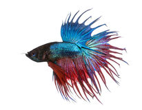 Side view of a Siamese fighting fish, Betta splendens, isolated stock photo