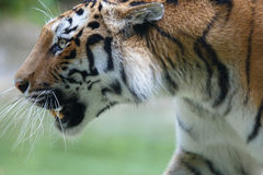 Side view of a siberian tiger Royalty Free Stock Photography