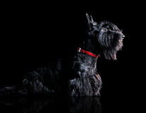 Side view silhouette portrait of a scottish terrier Stock Image