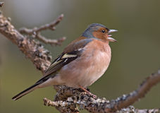 Side view of Singing Chaffinch Royalty Free Stock Photo
