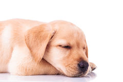 Side view of a sleeping labrador retriever puppy Royalty Free Stock Image
